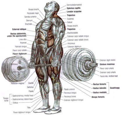 muscles used for a deadlift
