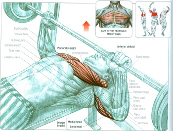 bench press anatomy