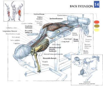 back extension muscles